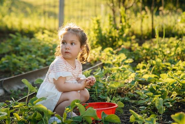 Uma menina pré-escolar bonita e feliz coleta e come morangos maduros em um jardim em um dia de verão ao pôr do sol. infância feliz. colheita saudável e amiga do ambiente.