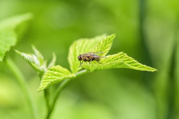 Uma mosca comum senta-se na flor de uma cebola. fotografia macro horizontal