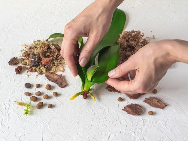 Uma muda de orquídea nas mãos. reanimação de orquídeas. cultivo de raízes em orquídeas.