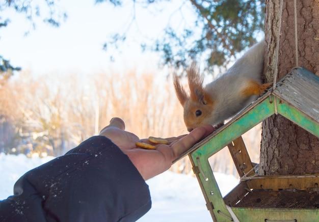 Uma mulher alimenta um esquilo. um esquilo senta-se em um alimentador de madeira e come biscoitos das mãos de uma mulher. cuidados com os animais no inverno ou outono