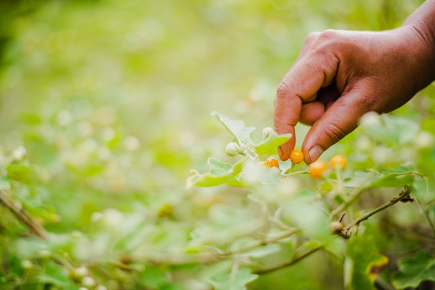 Uma mulher coleta solanum incanum em seu jardim.