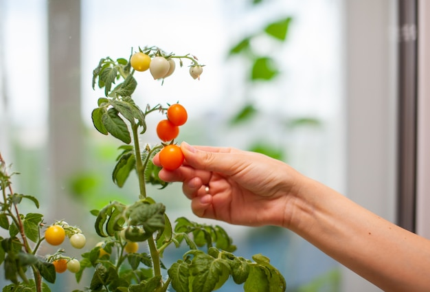 Uma mulher colhe tomates amarelos e maduros. pequenos tomates verdes e maduros crescendo no parapeito da janela. mini-vegetais frescos na estufa em um galho com frutas verdes. frutas jovens no mato.