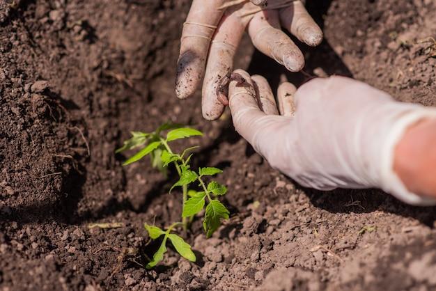 Uma mulher encontrou um verme quando plantou mudas de tomate no chão