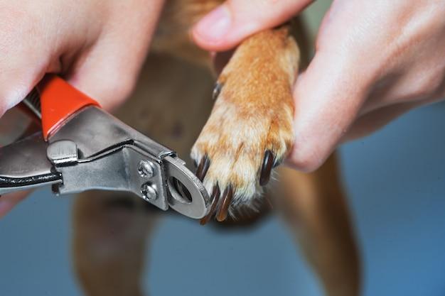 Uma mulher está cortando as unhas em um close da pata do cão.