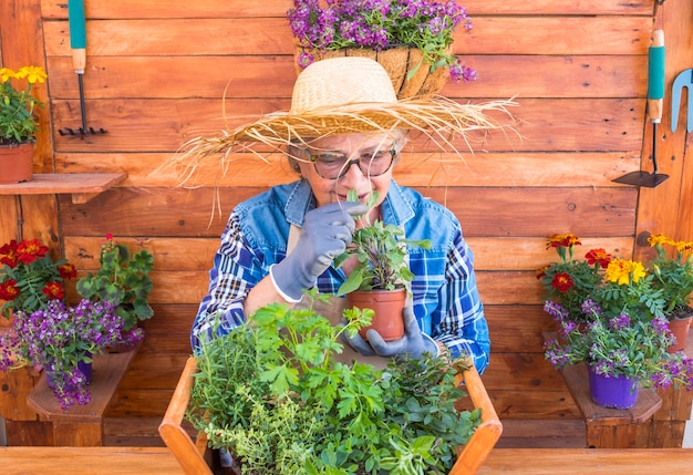 Uma mulher idosa com um grande chapéu de palha cuida das novas plantas aromáticas. ela sorri sentindo o cheiro das folhas de sálvia. fundo e mesa rústicos de madeira