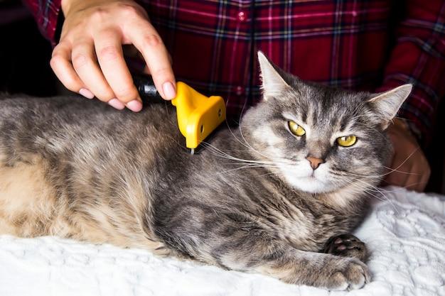 Uma mulher penteia seu gato cinza com uma tocha para se livrar do excesso de lã. cuidar de animais de estimação