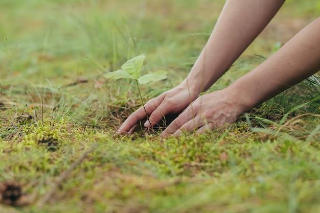 Uma mulher planta um pequeno carvalho na floresta, um voluntário ajuda a plantar novas árvores na floresta, foto em close-up