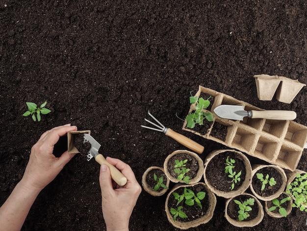 Uma mulher planta uma planta em um vaso de turfa. vista de cima.