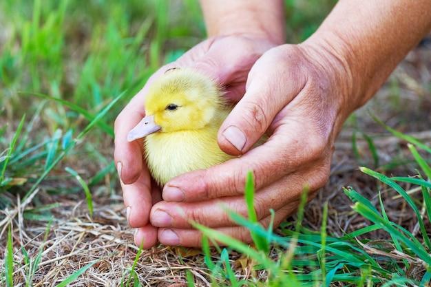 Uma mulher segura um pequeno pato amarelo nas mãos, protegendo-o do perigo