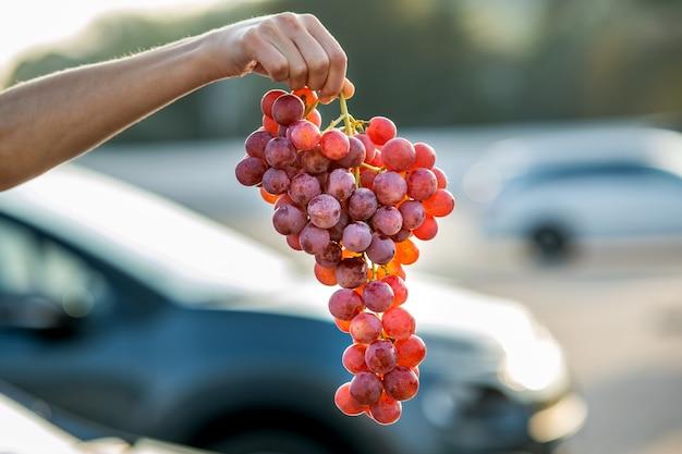 Uma mulher segurando grande cacho de uvas vermelhas suculentas na mão.
