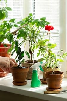 Uma mulher solta a terra em vasos de flores. plantas de interior no parapeito da janela. foco seletivo.