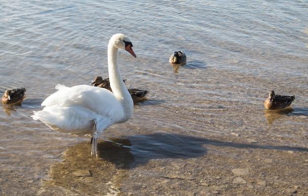 Uma ninhada de patos e um lindo cisne branco estão sentados na margem do lago em águas cristalinas.