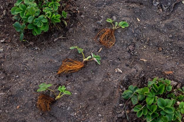 Uma nova muda de morangos com arbustos de raízes