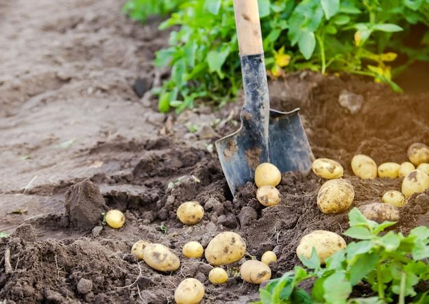 Uma nova safra de batatas está no campo perto da pá, tendo como pano de fundo arbustos de batata