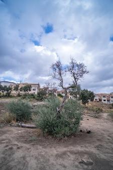 Uma oliveira com azeitonas maduras e a cidade ao fundo