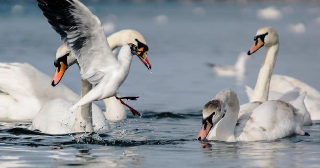 Uma ousada gaivota branca arrebatou um pedaço de pão molhado da água na frente de orgulhosos cisnes brancos flutuando no inverno na costa de anapa