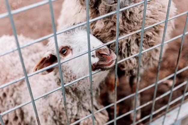 Uma ovelha bebê olha para a moldura através da malha do curral na fazenda, retrato. mamíferos no zoológico. animais famintos. foco seletivo.