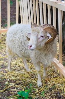 Uma ovelha branca com cabelos longos e chifres grandes fica no feno