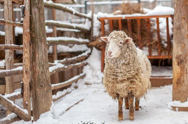 Uma ovelha branca de pêlo encaracolado em um cercado de madeira. criação de ovelhas no inverno. doméstico.