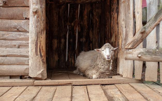 Uma ovelha branca de pêlo encaracolado em um cercado de madeira no campo. criação de ovinos. serviço de limpeza.