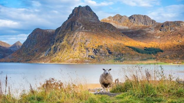 Uma ovelha na montanha nas ilhas lofoten