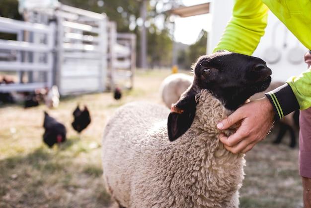 Uma ovelha negra e branca sufolk está sendo acariciada e abraçada por um humano em uma fazenda