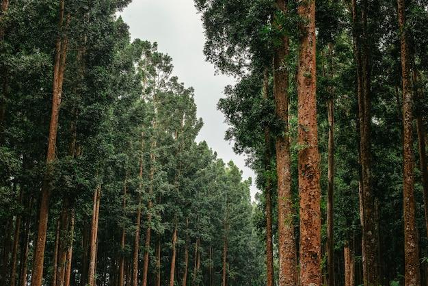 Uma paisagem de pinhal verde