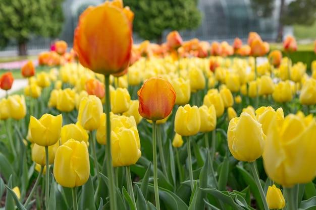Uma paisagem mágica com o nascer do sol sobre o campo de tulipas na holanda