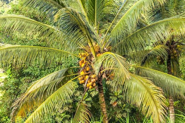 Uma palmeira espalhada com um monte de cocos amarelos maduros