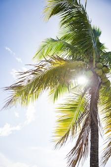 Uma palmeira tropical com cocos no fundo de um campo azul e raios de sol