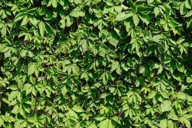 Uma parede coberto de vegetação da planta verde como o fundo.