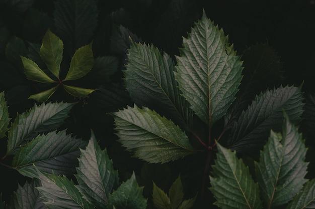 Uma parede de folhas verdes de uvas bravas