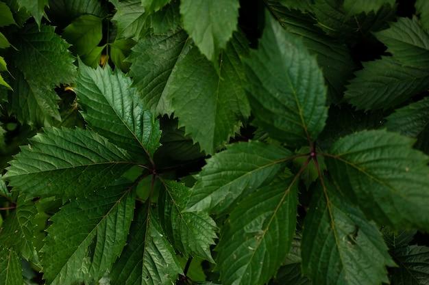 Uma parede de folhas verdes de uvas silvestres fundo da natureza do verão
