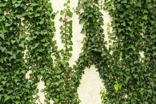 Uma parede de hera comum. também conhecida como hera européia