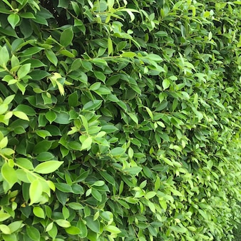 Uma parede ou cerca feita de plantas com folhas verdes, plano de fundo texturizado da natureza.