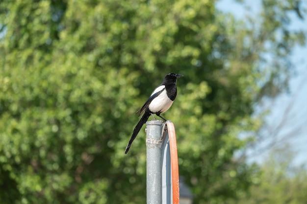 Uma pega de bico negro empoleirada em uma placa de trânsito