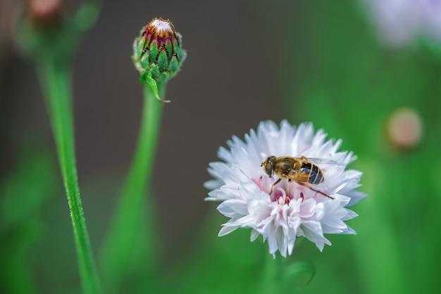 Uma pequena abelha recolhe o néctar de uma flor branca em um dia ensolarado no verão.