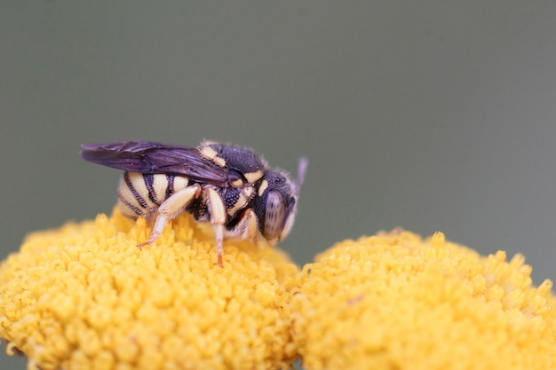 Uma pequena abelha rotunda de resina