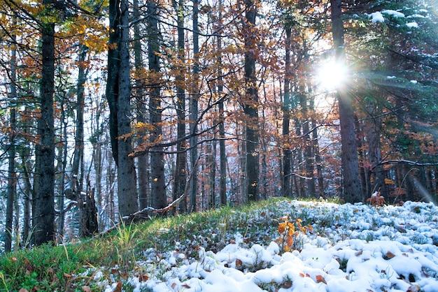 Uma pequena árvore está coberta de neve entre grandes árvores em uma clareira no meio de uma grande floresta densa nas montanhas dos cárpatos.