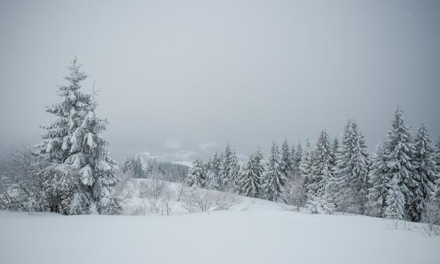 Uma pequena árvore frágil coberta por geadas solitária cresce de um monte de neve contra o pano de fundo de gigantescos abetos nevados centenários