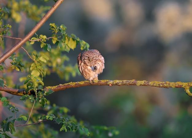 Uma pequena coruja adulta (athene noctua) senta-se em um galho seco sob os raios de luz suave da manhã em um fundo desfocado