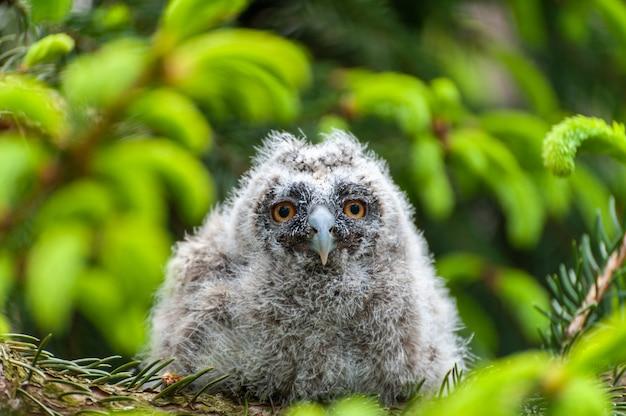Uma pequena coruja de orelhas compridas senta-se em um galho de árvore na floresta. bebé coruja-pequena-orelhuda na madeira