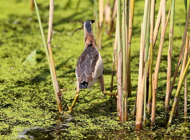 Uma pequena fêmea de abutre pegou um sapo em um lago gramado verde