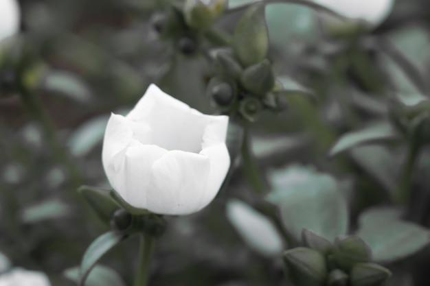 Uma pequena flor branca plantada na colina e plantada em várias casas para turistas