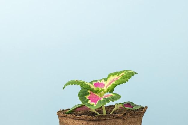 Uma pequena flor em um vaso de turfa em uma superfície azul