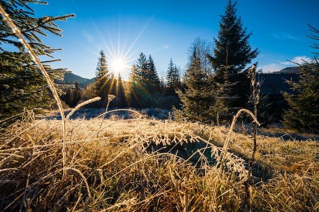 Uma pequena grama seca coberta com gelo de cristal da geada contra o fundo do sol frio e brilhante e árvores de natal azuis perenes
