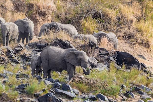 Uma pequena manada de elefantes na margem do rio masai mara quênia, áfrica