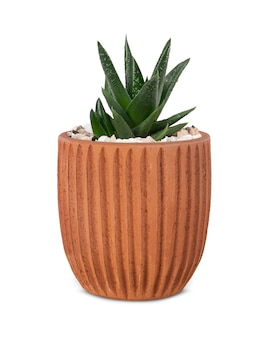 Uma pequena planta de aloe vera em um vaso fofo