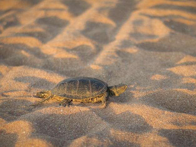 Uma pequena tartaruga rastejando na areia perto do mar.