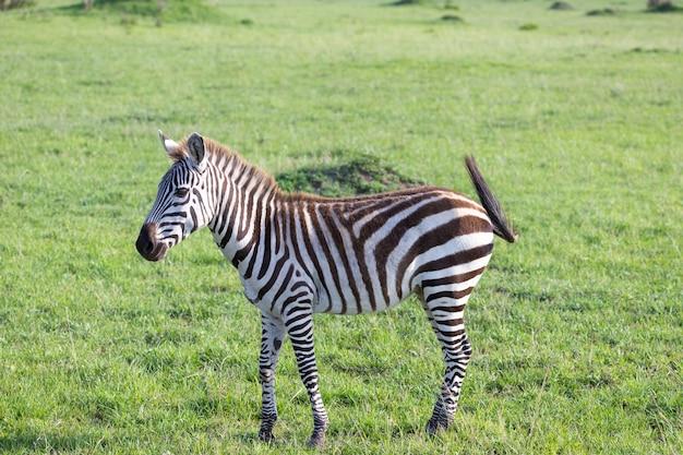 Uma pequena zebra na savana do quênia